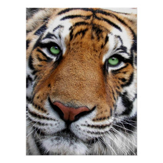 Tiger Face Poster