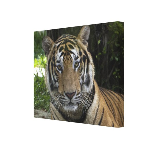 Tiger Face Wrapped Canvas Canvas Print