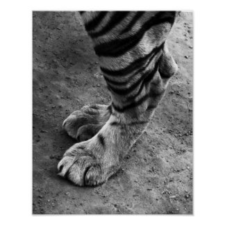Tiger Feet Black and White Photograph Poster