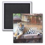 Tiger Fridge Magnets