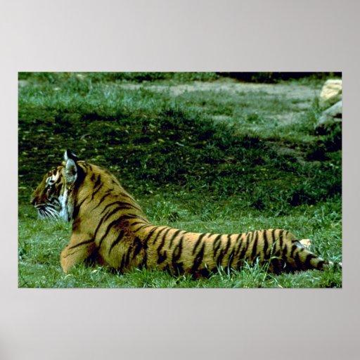 Tiger Full Length Resting, Profile Print