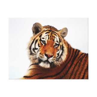 Tiger glance sideways photo canvas print