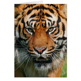 Tiger - Greeting Card