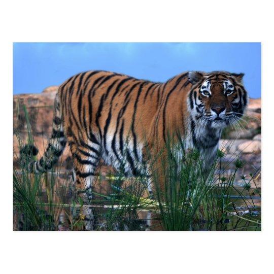 Tiger guarding the river postcard