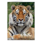 Tiger head beautiful photo blank greetings card