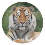 Tiger head male beautiful  photo dish, plate