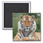 Tiger head male beautiful photo fridge magnet