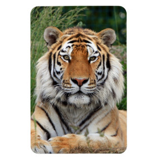 Tiger head male beautiful photo magnet