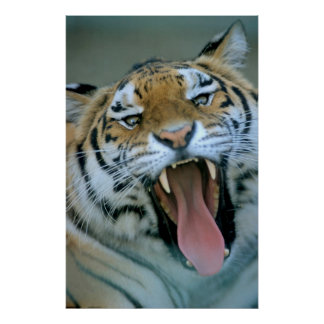 Tiger head with open muzzle, hissing, close-up, poster