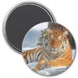 Tiger in Snow Magnet