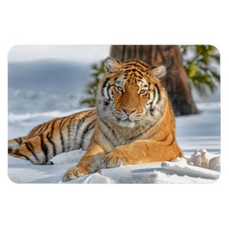 Tiger in Snow Magnet