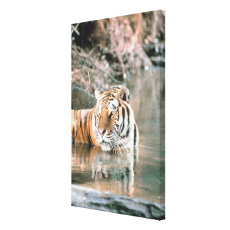 Tiger in stream stretched canvas print