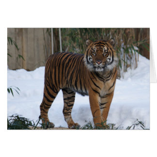 tiger in the snow 3 cards
