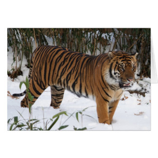 Tiger in the snow card