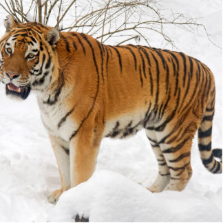 Tiger in the Snow Cutout