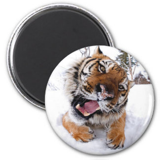 Tiger in the snow magnet