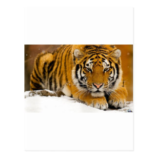 TIger in the Snow Ready to Attack Postcard