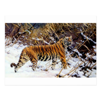 Tiger in the Snow Wild Cat Postcard