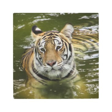 Hawaiian Themed Tiger in the Water Metal Print