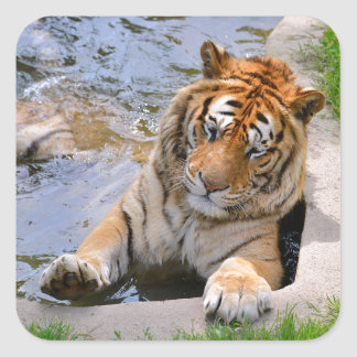 Tiger in the water square sticker
