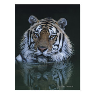 Tiger in Water Postcard