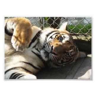 Tiger Kingdom Photo Print