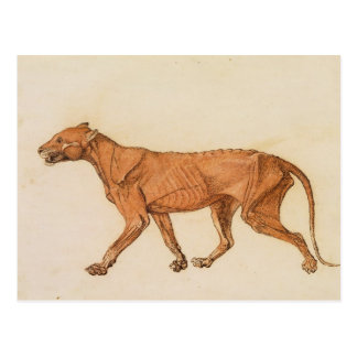 Tiger, Lateral View, Skin Removed, from 'A Compara Postcard