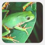 Tiger Leg Monkey Frog, Phyllomedusa Square Sticker