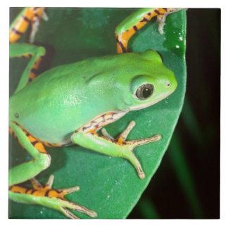 Tiger Leg Monkey Frog, Phyllomedusa Tile