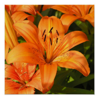 Tiger Lilies Photograph Poster