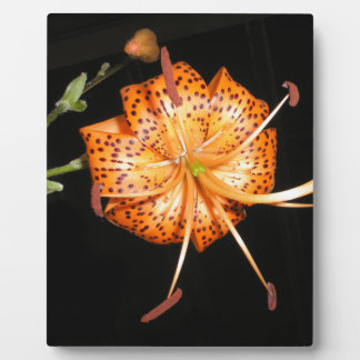 Tiger Lilly on Black Background Plaque