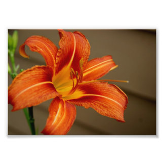 Tiger Lily 5x7 Photographic Print