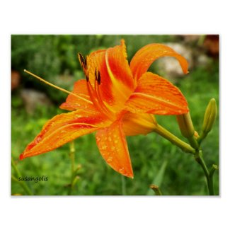 Tiger Lily Botanical Value Poster
