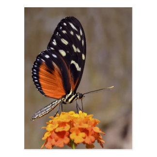 Tiger Longwing butterfly feeding on flower Postcard
