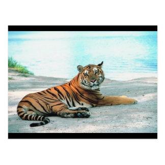 Tiger Lounge Postcard
