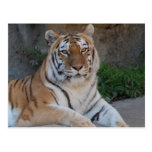 Tiger Love Postcard