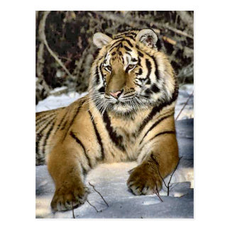 Tiger Lovers Art Gifts Postcard