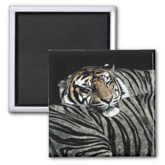 """Tiger Magnet  #1 - """"Sleeping Patterns"""""""
