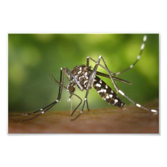 Tiger mosquito photo print