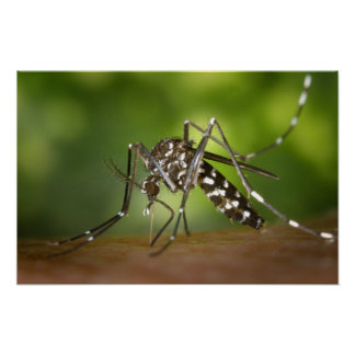 Tiger mosquito print