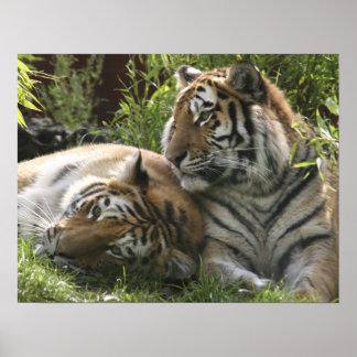 Tiger Pair Couple Custom Personalize Anniversaries Poster