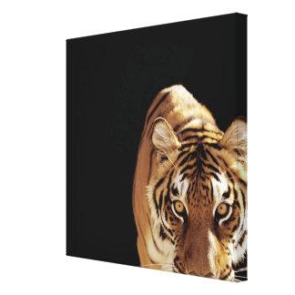 Tiger (Panthera tigris) Canvas Print