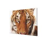 Tiger (Panthera tigris), close-up Gallery Wrap Canvas