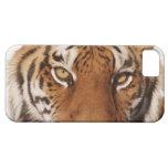 Tiger (Panthera tigris), close-up iPhone 5 Cover