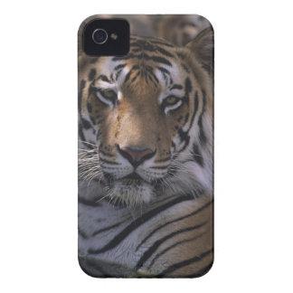 Tiger (Panthera tigris), close-up of head, iPhone 4 Cover