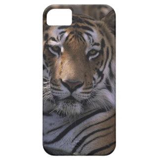 Tiger (Panthera tigris), close-up of head, iPhone SE/5/5s Case