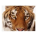Tiger (Panthera tigris), close-up Post Cards