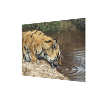 Tiger (Panthera tigris) lapping water up from a Canvas Print