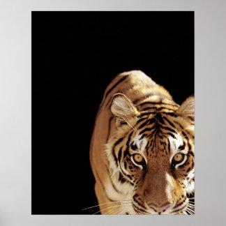 Tiger (Panthera tigris) Poster