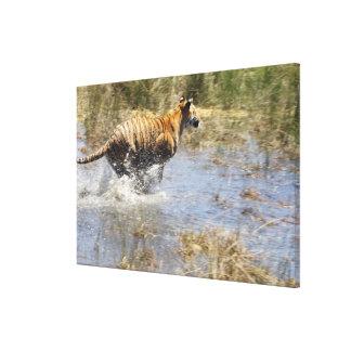 Tiger (Panthera tigris) running through water. Canvas Print
